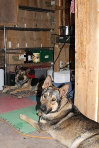 The dogs love being with us in the shed.